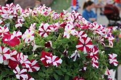 Fiore del giardino di miracolo del Dubai Fotografie Stock Libere da Diritti