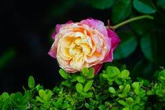 Fiore del giardino del museo di Cummer a Jacksonville, Florida Fotografie Stock Libere da Diritti
