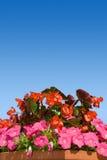 Fiore del giardino in POT fotografia stock