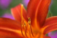 Fiore del giglio Fotografie Stock Libere da Diritti