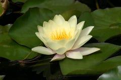 Fiore del giglio Fotografia Stock