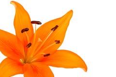 Fiore del giglio Immagini Stock Libere da Diritti