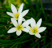 Fiore del giglio bianco Fotografia Stock