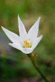 Fiore del giglio bianco Immagini Stock