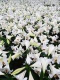 Fiore del giglio bianco con il germoglio Immagine Stock