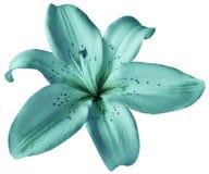 Fiore del giglio del turchese su fondo bianco isolato con il percorso di ritaglio closeup Nessun ombre fotografia stock libera da diritti