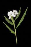 Fiore del giglio della farfalla Immagine Stock