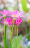 Fiore del giglio della pioggia fotografie stock