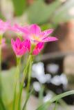 Fiore del giglio della pioggia immagini stock libere da diritti