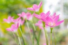 Fiore del giglio della pioggia Fotografie Stock Libere da Diritti