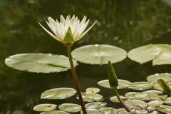 Fiore del giglio di acqua bianca Fotografia Stock Libera da Diritti