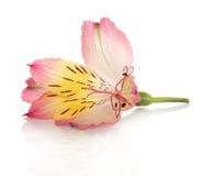 Fiore del giglio di alstroemeria con rugiada Immagine Stock Libera da Diritti