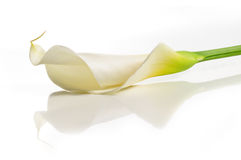 Fiore del giglio di Calla Fotografie Stock Libere da Diritti