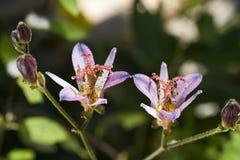 Fiore del giglio di rospo Fotografia Stock Libera da Diritti