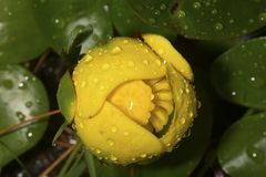 Fiore del giglio di stagno giallo con le goccioline di acqua in New Hampshire immagine stock libera da diritti