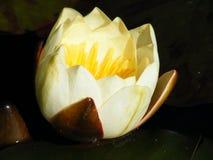 Fiore del giglio di stagno giallo nella peschiera del giardino Immagini Stock