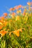 Fiore del giglio di tigre (emerocallide) Fotografia Stock