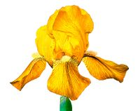 Fiore del giglio giallo isolato su un fondo bianco Primo piano Germoglio di fiore su un gambo verde Fotografia Stock