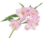 Fiore del giglio peruviano Fotografia Stock