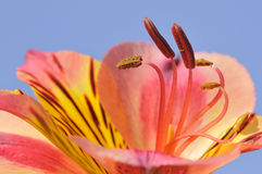 Fiore del giglio peruviano dello Stamen Fotografia Stock