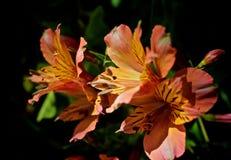 Fiore del giglio peruviano di Alstroemeria Immagine Stock