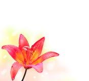 Fiore del giglio su fondo bianco Fotografie Stock Libere da Diritti