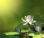 Fiore del giglio su una priorità bassa verde Fotografie Stock
