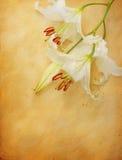 Fiore del giglio su vecchio documento Fotografia Stock
