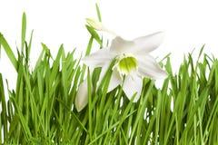 Fiore del giglio sui precedenti bianchi fotografia stock libera da diritti