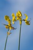 Fiore del ginestrone Immagini Stock