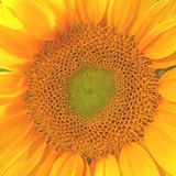 Fiore del girasole Fotografie Stock