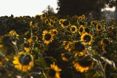 Fiore del girasole alla luce solare luminosa immagini stock libere da diritti