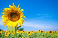 Fiore del girasole con cielo blu Fotografia Stock Libera da Diritti
