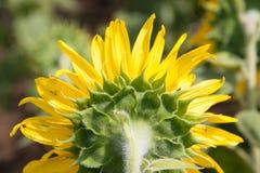 Fiore del girasole del lato posteriore Immagini Stock