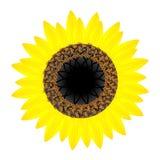 Fiore del girasole isolato su fondo bianco, elemento di progettazione illustrazione di stock