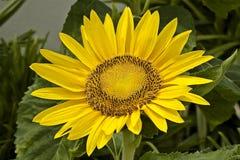 Fiore del girasole su un fondo verde fotografie stock libere da diritti