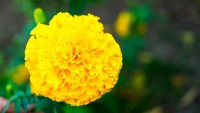 Fiore del grande tagete Fotografia Stock Libera da Diritti
