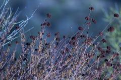 Fiore del grano saraceno di California ragruppato Fotografia Stock