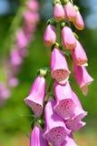 Fiore del guanto di Fox Fotografia Stock