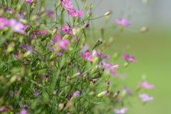 Fiore del Gypsophila Fotografie Stock