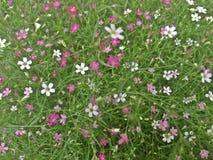 Fiore del Gypsophila, respiro panicled del ` s del bambino, fiore minuscolo fotografie stock libere da diritti