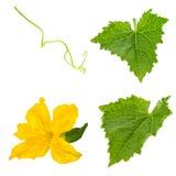 Fiore del iwith della foglia del cetriolo solated su bianco Fotografia Stock
