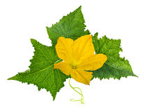 Fiore del iwith della foglia del cetriolo solated su bianco Fotografie Stock Libere da Diritti