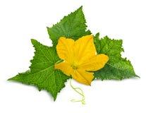 Fiore del iwith della foglia del cetriolo solated su bianco Fotografia Stock Libera da Diritti