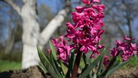 Fiore del jacinth del giacinto video d archivio