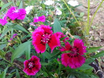 Fiore del jenmine Immagini Stock