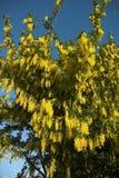Fiore del Laburnum Fotografie Stock
