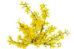 Fiore del Laburnum di Forsythia Fotografie Stock