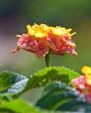Fiore del Lantana con i verdi alla Camera della condizione dello Sc Immagini Stock