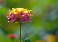 Fiore del Lantana (di sinistra) alla Camera della condizione dello Sc Fotografia Stock Libera da Diritti